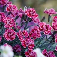 Dianthus Purple Wedding - Fragrant Pink in Bud & Bloom