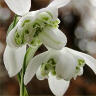 Rare Double Flowered Snowdrops - Galanthus nivalis Flore Pleno (var hippolyta)
