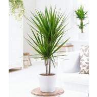 Dracaena marginata - Large 60-80cm Dragon Tree
