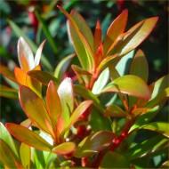 Drimys lanceolata 'Red Spice' - Evergreen Tasmannia Mountain Pepper - Larger Plant