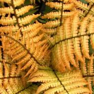 Dryopteris wallichiana Jurassic Gold - Golden Wood Fern