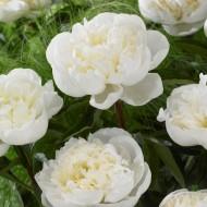 Paeonia lactiflora Duchesse de Nemour - Peony