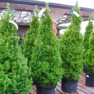 Picea glauca Conica - Dwarf Alberta Spruce - Large 100cm Specimen