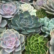 Echeveria Plant Collection - Pack of THREE Different Plants