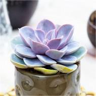 Echeveria 'Perle von Nürnberg' - Succulent Plant in White Pot