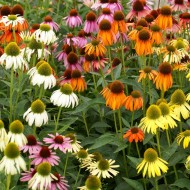 Echinacea Breeders Mix Sunny Colours Echinacea Plants - Pack of TEN