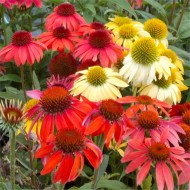 BULK PACK - Echinacea Cheyenne Spirit - Pack of FIFTEEN Coneflower Plants in Amazing Colours