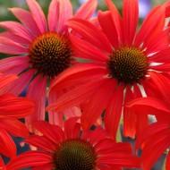 Echinacea Tomato Soup - Cone Flower
