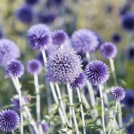 Echinops Veitch's Blue - Pack of 4