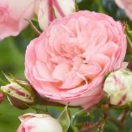 Large 6-7ft Specimen Climbing Rose - Eden Rose
