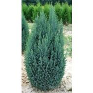 Chamaecyparis lawsoniana Ellwoodii - Lawsons Cypress - Large 90-100cms Plant
