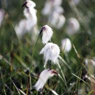 Eriophorum angustifolium - Cotton Grass