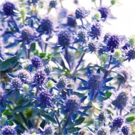Eryngium planum Blue Hobbit - Eryingium - Blue Sea Holly