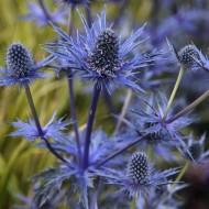 Eryngium zabelii 'Jos Eijking' - Eryingium - Blue Sea Holly