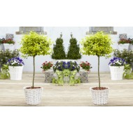 Pair of Euonymus Emerald & Gold - Golden Evergreen Standard Topiary Trees - with White Baskets