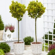 Pair of Euonymus  ovatus Aureus - Evergreen Golden Variegated Standard Topiary Trees - with White Baskets
