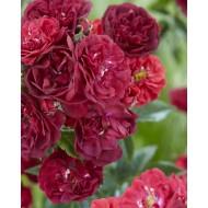 Rose Fairy King - Floribunda Ground cover Rose