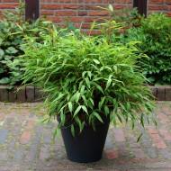 Fargesia murielae 'Luca' - Dwarf Fountain Bamboo