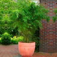 Fargesia murieliae - Umbrella Bamboo - 100cms Plant