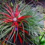 Fascicularia bicolor - Hardy bromeliad plant