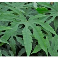 Fatsia polycarpa 'Green Fingers'®