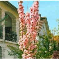 Japanese Flagpole Flowering Cherry Tree - Prunus amanagawa