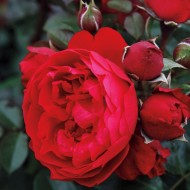 Large 6-7ft Specimen Climbing - Rose Florentina