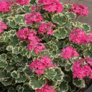 Pelargonium Madame Salleron - Large