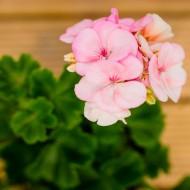 Geranium Toscana Light Pink