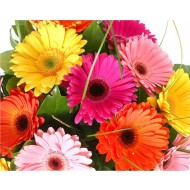Gerbera Daisy Plant in assorted Colours - Pack of THREE