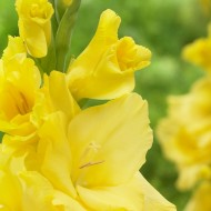 Gladiolus Giant Flowered Yellow - Pack of 25 Gladioli Corms