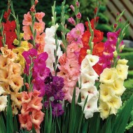 Gladiolus Giant Flowered Mixture - Pack of 25 Gladioli Corms