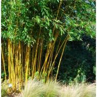 Phyllostachys aurea - Golden Cane Bamboo - 170-190cm