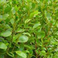 Griselinia littoralis 'Apple Green' - Green Horizon New Zealand Privet