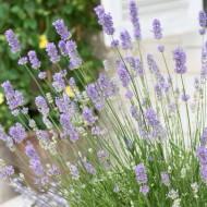 Lavendula intermedia Grosso - Fragrant Lavender