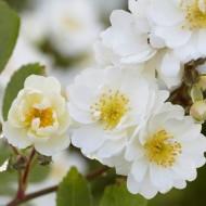 Large 6-7ft Specimen Climbing Rose - Guirlande Rose