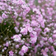 Gypsophila 'Pink' - Pack of SIX