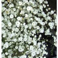 Gypsophila 'White' - Pack of SIX