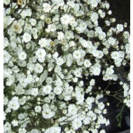 Gypsophila paniculata 'White' - Pack of TWENTY FIVE