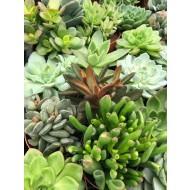 Succulent Plant Collection - FIVE Contemporary Trendy Plants