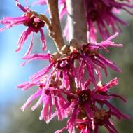 Hamamelis vernalis Amethyst - Witch Hazel