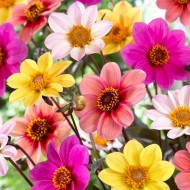 Dahlia Happy Single Selection - Pack of FIVE