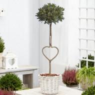 Heart Shaped Trunk Lollipop Bay Tree in White Basket