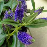 Hebe andersonii 'Royal Purple'