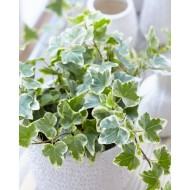 Hedera helix 'White Wonder' - Variegated Ivy - with White display Pot