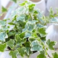 Trailing Variegated Ivy - Pack of 5 Hedera Plants
