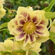 Helleborus orientalis Double Ellen Yellow Spotted