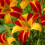 Hemerocallis ''Frans Hals'' - Daylily
