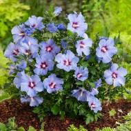 Hibiscus syriacus Marina Blue
