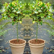 """Pair of Gorgeous """"Golden King"""" Variegated Holly Tree Standards - Perfect for Patios"""